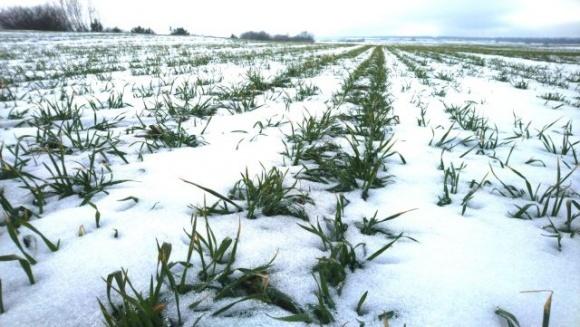 Значне зниження температури є ризикованим для озимих зернових  фото, ілюстрація