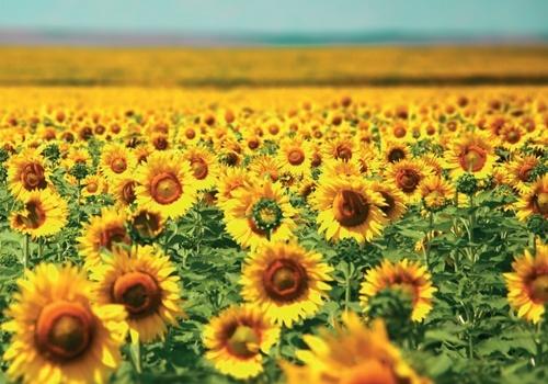 Україна залишається лідером світового виробництва соняшнику, - експерти фото, ілюстрація
