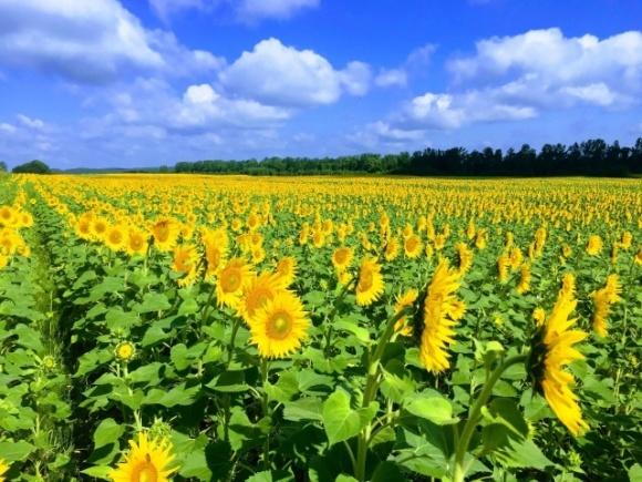 Найрентабельнішим у 2019 році було виробництво насіння соняшнику, — експерт фото, ілюстрація
