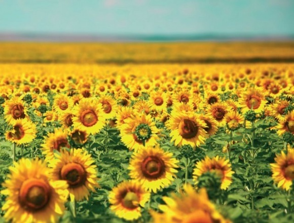 Урожай подсолнечника в этом году меньше, чем в прошлом году, - Минэкономики фото, иллюстрация