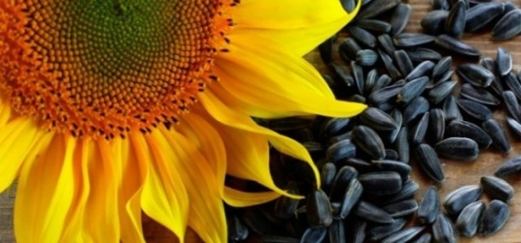 Активний експорт підтримує ціни на соняшник на високому рівні фото, ілюстрація