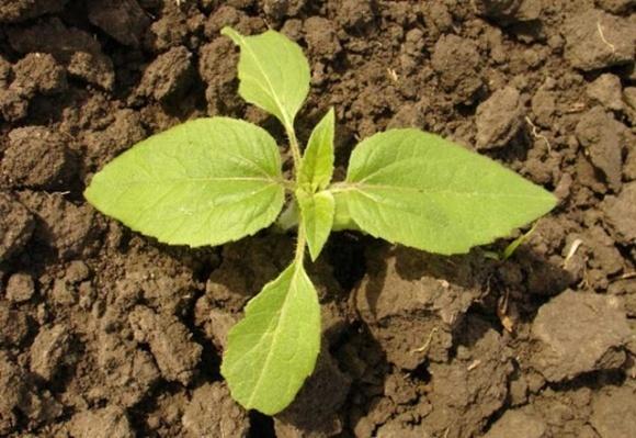 В Україні підходить до завершення сівба кукурудзи і соняшнику  фото, ілюстрація