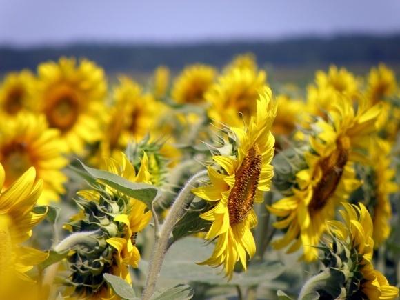 Названі найбільші переробники соняшнику фото, ілюстрація