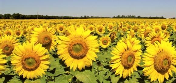 В Україні зібрали рекордний урожай соняшнику фото, ілюстрація