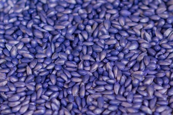 Наскільки якісно протруєне насіння?  фото, ілюстрація