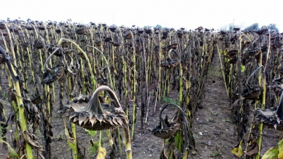В конце августа агрометеоусловия для завершения вегетации поздних сельхозкультур в Украине были неоднородными фото, иллюстрация
