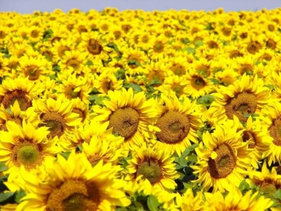 Україна збільшила площі під високоолеїновим соняшником на 44% фото, ілюстрація
