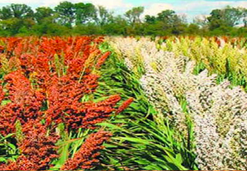 Рекордна в Україні врожайність сорго склала 144,3 ц/га фото, ілюстрація