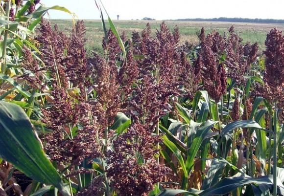 """Сахарное сорго - """"золотая ниша"""" для сельхозпроизводителя фото, иллюстрация"""