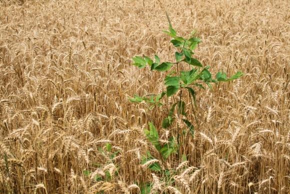 Как в Канаде пытаются решить проблему резистентности сорняков? фото, иллюстрация