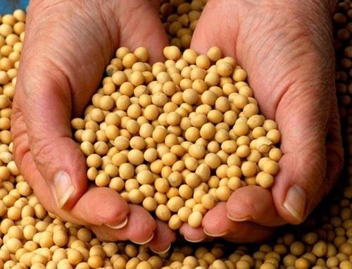 Сев сои в Украине выполнен на 75% прогнозируемых площадей фото, иллюстрация