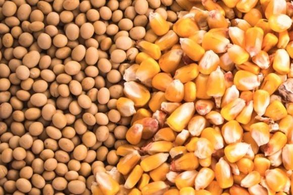 Котировки кукурузы и сои продолжили рост на фоне новых закупок со стороны импортеров фото, иллюстрация