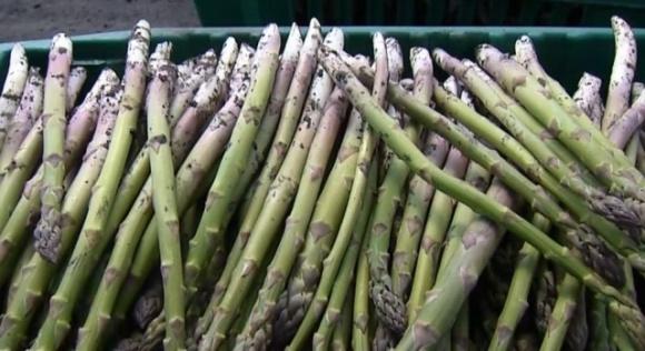 Вирощування спаржі: як ринок цього овочу набирає популярності в Україні і чи можна на ньому заробити? фото, ілюстрація