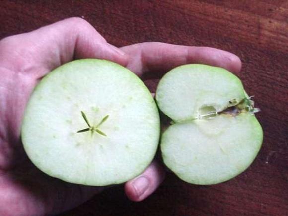 Вчені розгадують секрет нестабільності плодоношення яблук фото, ілюстрація