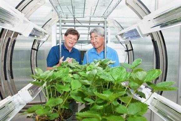 Обработка ультрафиолетом помогает защитить землянику от грибных инфекций  фото, иллюстрация