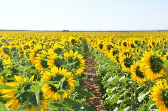 Фермери допоможуть захистити населення від амброзії фото, ілюстрація