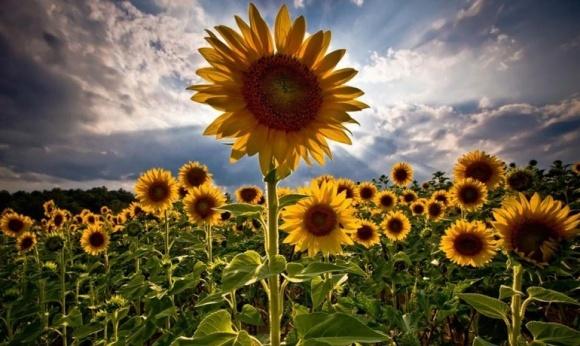 Вместо ячменя и сои аграрии могут засеять поля кукурузой и подсолнечником фото, иллюстрация