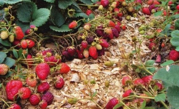 В Латвии может сгнить урожай клубники из-за отсутствия работников фото, иллюстрация