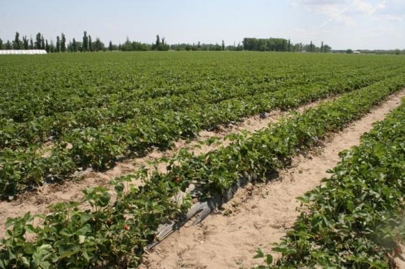 В Молдове исследовали эффективность новых технологий выращивания земляники фото, иллюстрация