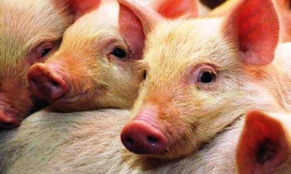 В Україні перерахували свиней: порадували лише західні регіони фото, ілюстрація