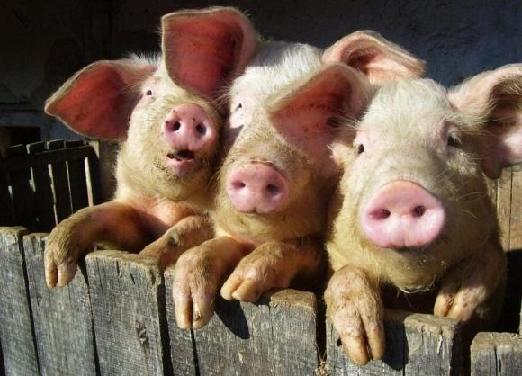 Свинокомплексы имеют системные проблемы с общинами фото, иллюстрация