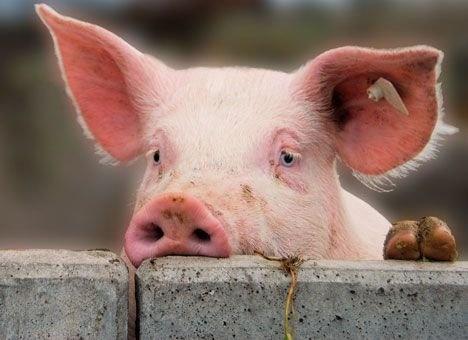 Беларусь ограничила импорт свинины из двух регионов Украины из-за АЧС фото, иллюстрация