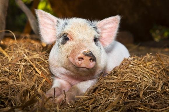 Активізація імпорту канадської свинини в Україну маловірогідна фото, ілюстрація
