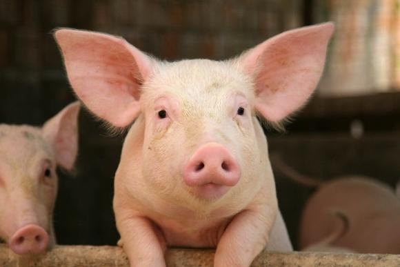 Свинарські підприємства прирівняли до атомних електростанцій фото, ілюстрація