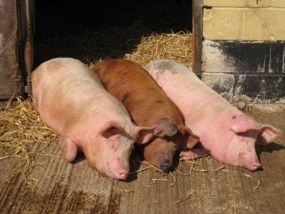 Свині стали худішими фото, ілюстрація