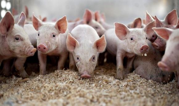 Україна стала нетто-експортером живого свинопоголів'я фото, ілюстрація