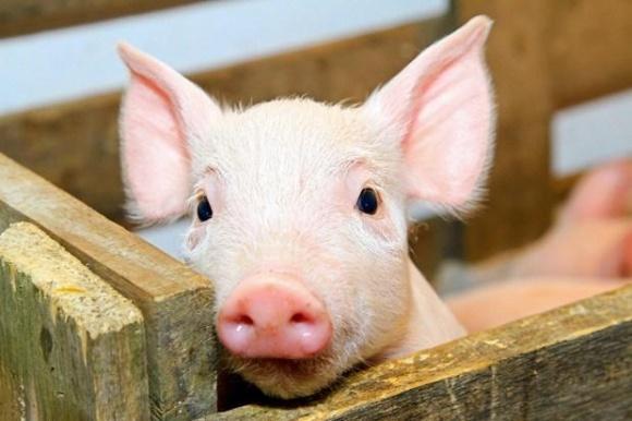 На Днепропетровщине от голода погибло более 20 свиней фото, иллюстрация