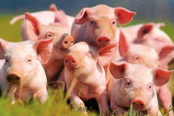НKSG Agro планує експортувати свиней у Китай фото, ілюстрація