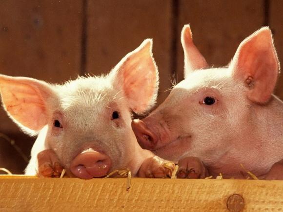 KSG Agro будет развивать свиноводство фото, иллюстрация