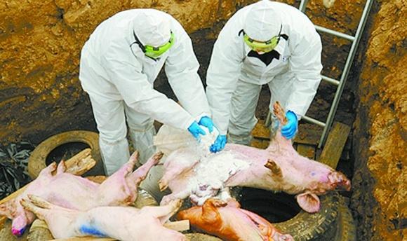 Які помилки польських фермерів під час АЧС не слід повторювати? фото, ілюстрація