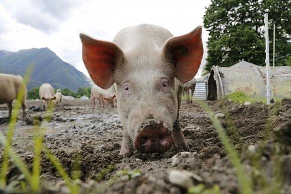 Вірус АЧС підклав свиню українському експорту фото, ілюстрація