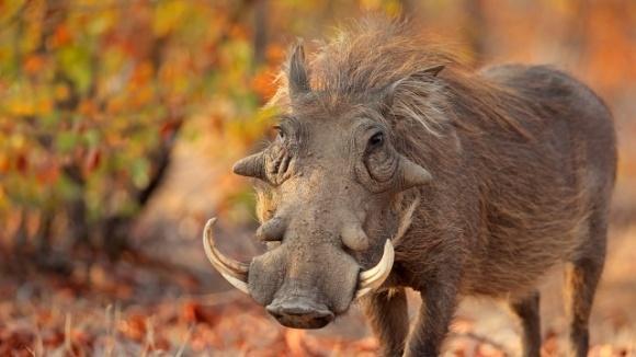 Шотландські вчені вивели породу свиней, стійку до АЧС фото, ілюстрація