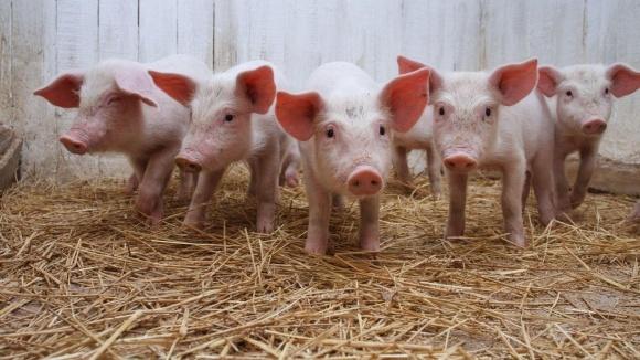 Україна до 2020 року може втратити 1,2 млн свиней, — В. Лапа фото, ілюстрація