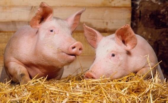 Молдова полностью запретила импорт украинской свинины фото, иллюстрация