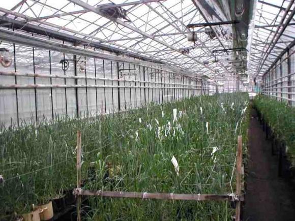 Австралийские селекционеры рассчитывают ускорить процесс селекции зерновых втрое фото, иллюстрация