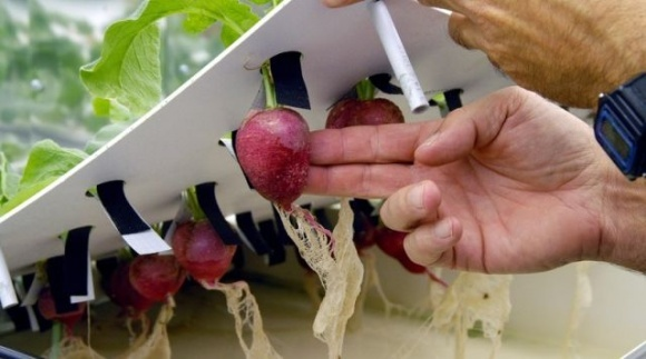 «В 10 раз выше урожайность» — названы преимущества гидропонных теплиц в Украине фото, иллюстрация