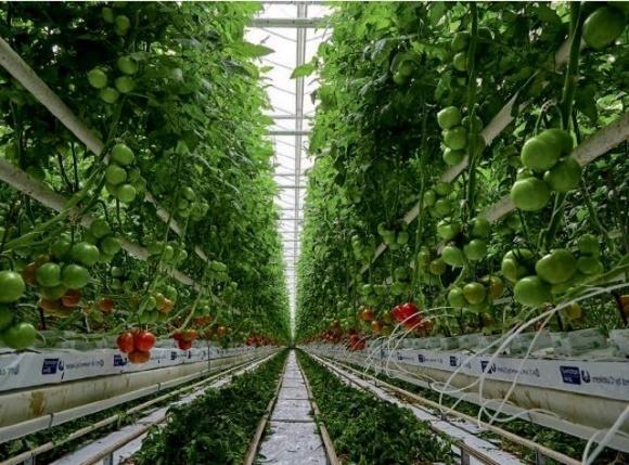 Найбільший потенціал в овочівництві є у тепличних комбінатів, — експерт фото, ілюстрація