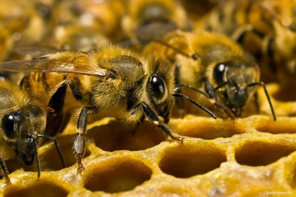 Селекційні бджоли підвищують рентабельність пасік у рази фото, ілюстрація