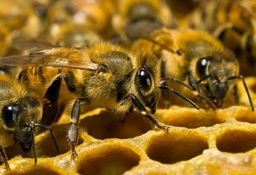 Вина за отруєння бджіл частково лежить на бджолярах, - посадовець фото, ілюстрація