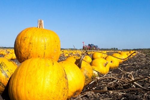 Украина стала одной из стран-передовиков по выращиванию штирийской тыквы фото, иллюстрация