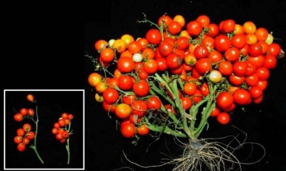Виведено ГМ-томати, які можна вирощувати в космосі фото, ілюстрація
