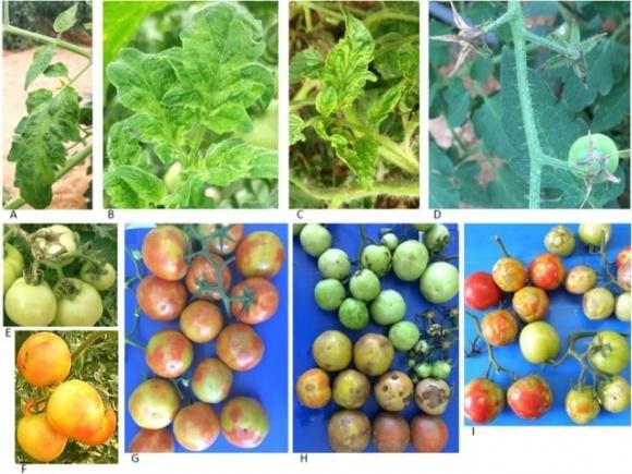 У світі поширюється новий небезпечний вірус томата фото, ілюстрація