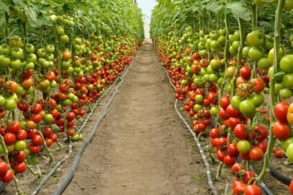 Науковці США навчилися робити «щеплення» від посухи для агророслин фото, ілюстрація