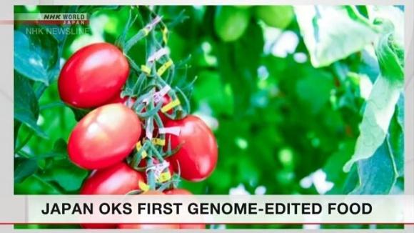 В Японии впервые одобрили продажу генномодифицированных томатов фото, иллюстрация
