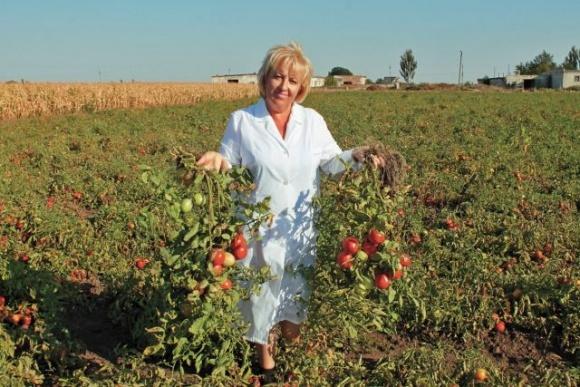 Селекція по створенню «херсонських помідорів» постійно триває фото, ілюстрація