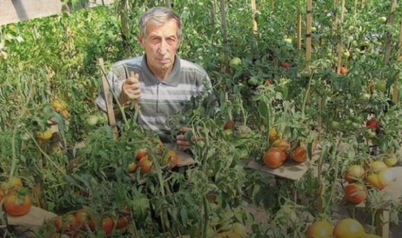 На Волыни фермер проводит селекцию помидоров и собирает тонны урожая фото, иллюстрация